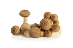 Shimeji mushrooms brown varieties. Isolated on white background Stock Image