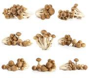 Shimeji mushrooms brown varieties Royalty Free Stock Image