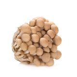 Shimeji mushrooms brown varieties on white background Royalty Free Stock Photo