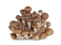 Shimeji-Pilz, brauner Buchenpilz auf Weiß Lizenzfreies Stockfoto
