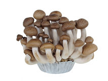 Shimeji-Pilz, brauner Buchenpilz auf Weiß Stockfoto