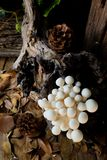 Shimeji-Pilz, Weißbuchepilze Lizenzfreie Stockbilder