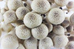 Shimeji-Pilze Stockbilder