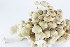 Shimeji-Pilze lizenzfreie stockbilder