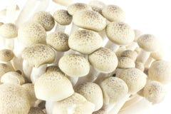 Shimeji-Pilze stockbild