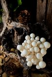 Shimejipaddestoel, Witte beukpaddestoelen Stock Fotografie