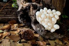 Shimejipaddestoel, Witte beukpaddestoelen Stock Afbeeldingen