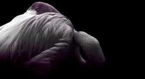 Shimmer of purple flamingo. Abstract image resting on black background Royalty Free Stock Photography