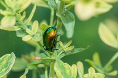 Shimmering beetle with drops of water on its back stock images