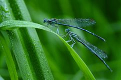 Shimmering dragonflies. Dragonflies in the morning dew Royalty Free Stock Images