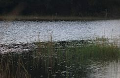 SHIMMERING GLIMMER ON RIVER WITH GREEN GRASS IN THE FOREGROUND. Image of water in a a river with shimmering ripples and green vegetation on the banks stock photography