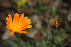 Orange Flower. Shimmering orange flower with difuse green background and a withered similar flower stock photography
