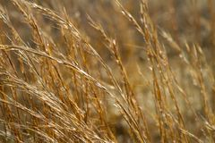 Shimmering Prairie Grass Stock Image