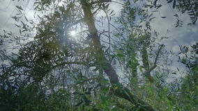 Shimmering sunshine through olive tree in Tuscany. Medium wide handheld high dynamic range shallow depth of field slow motion tracking shot of the sun shimmering stock footage
