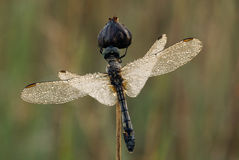 A shimmering winged dragonfly Stock Images