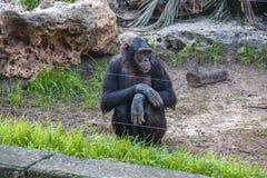 Shimpanze Fotografia Stock Libera da Diritti