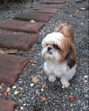 Shin-Tzu Hund Lizenzfreies Stockbild