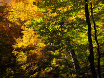 Shine autumn forest. Autumn beautiful forest and shine Stock Images