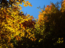 Shine autumn forest. Autumn beautiful forest and shine Royalty Free Stock Photography