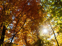 Shine autumn forest. Autumn beautiful forest and shine Stock Image