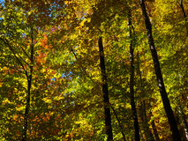 Shine autumn forest. Autumn beautiful forest and shine Royalty Free Stock Photos