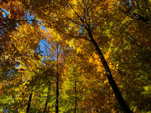 Shine autumn forest. Autumn beautiful forest and shine Stock Photography