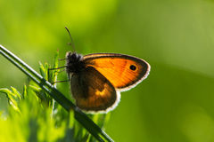 Shine Through. Butterfly on the meadow. Macro photography of wildlife Stock Images