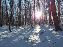 Shine in the forest. Shine in the snowy forest royalty free stock images