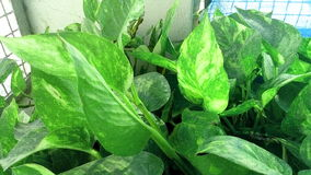 Shine green leaf. Money plant close view Royalty Free Stock Image