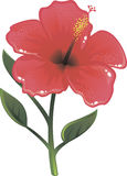Shine  hibiscus in vector Royalty Free Stock Image