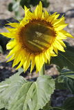 Shine like a sunflower. The first sunflower of the season Royalty Free Stock Photography