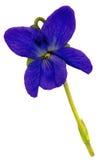 ShinerBlossom1 Stock Foto's