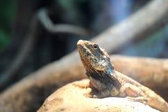 Shingle-backed Skink. In Singapore zoo Stock Image