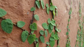 Shingle plant on wall Stock Image
