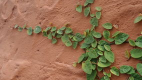 Shingle plant on wall Royalty Free Stock Photos