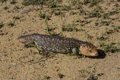Shingleback lizard Royalty Free Stock Photo