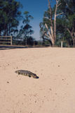 Shingleback lizard on a country road Stock Photography