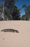 Shingleback lizard on a country road Royalty Free Stock Images