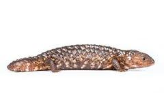 Shingleback Lizard isolated on white royalty free stock photo