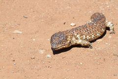 Shingleback Lizard (Trachydosurus Rugosus) Stock Photo