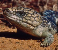 Shingleback skink Stock Photo