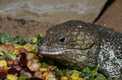 Shingleback skink and food Stock Images