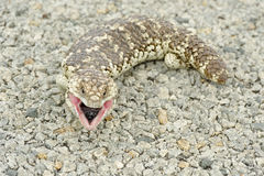 Shingleback Royalty Free Stock Photos