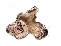 Shingled hedgehog musroom. Shingled hedgehog Sarcodon imbricatus mushroom on white background Royalty Free Stock Images