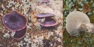 Shingled hedgehog, Sarcodon imbricatus. Mushroom in the forest, surrounded by lichens Stock Photo