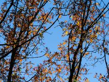 Shining Autumn Leaves On Tree Branches. Colorful yellow and orange maple leaves on tree branches against the blue sky royalty free stock images