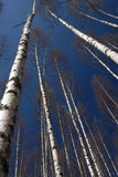 Shining Birch Forest. Birches in spring whit natural blue sky. Central Finland. May royalty free stock photography
