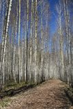 Shining Birch Forest Stock Photography