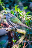 A Shining Bronze Cuckoo Stock Photo