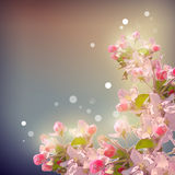Shining Cherry blossom background Royalty Free Stock Images